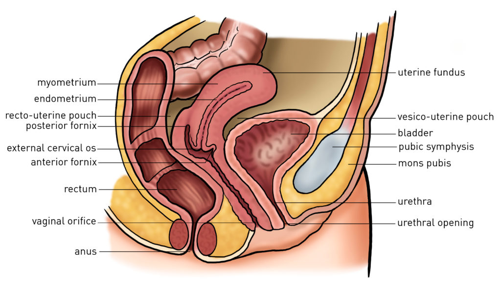 Abdominal hysterectomy anatomy