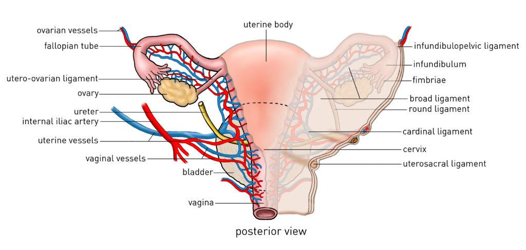 Open Abdominal Hysterectomy(cadaver) - Incision Academy